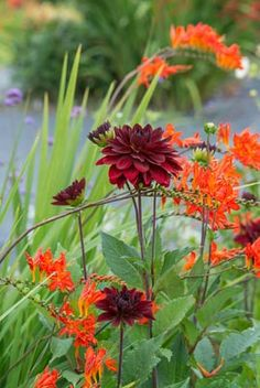 The flamboyant colors of Crocosmias add vivid visual interest to the sunny border and they are terrific elements in hot-colored schemes. They radiate beautifully with Heleniums (Sneezeweed), Kniphofias (Red Hot Pokers),Dahlias and ornamentalgrasses where they maintain the interest well after the first leaves have started to fall.