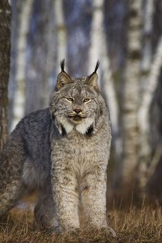 This Lynx has got his puffy winter coat on.all set for winter! Love a lynx. Small Wild Cats, Big Cats, Cool Cats, Cats And Kittens, Pretty Cats, Beautiful Cats, Animals Beautiful, Nature Animals, Animals And Pets