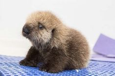 Thanks to the Monterey Bay and Shedd Aquariums , this little girl has a new chance at life.