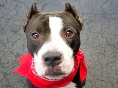A1045089_rocky DONT LET HIM BE KILLED! SUPER URGENT 2 BE DESTROYED TONIGHT 8/2/15 OR 2morrow! I DONT WANT TO DIE, WONT U HELP ME? WE R ROCKYS ONLY VOICE N HOPE FOR SURVIVAL, WONT U HELP HIM? LOOK AT THAT PRECIOUS COMPLETELY ADORABLE FACE, HIS EYES JUST TWINKLE:) HE IS SI DANG CUTE, DONT MIND THE BUTCHER JOB SOMEONE DID TO THIS POOR BABIES EARS! HE IS STILL DOWN RIGHT HANDSOME! PLEASE GIVE ROCKY THE HOME HE TRUELY DESERVES! CHOOSE LIFE, NOT DEATH!!!!