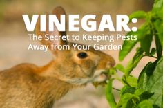 Keep Rabbits and Pests Away from Your Veggies with Vinegar!