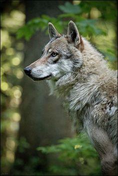 Grey Wolf by Jan Geerk. Wolf Spirit, Spirit Animal, Wolf Pictures, Animal Pictures, Beautiful Creatures, Animals Beautiful, Tier Wolf, Animals And Pets, Cute Animals