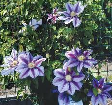 Plant Info - Perfect Pergolas  Clematis