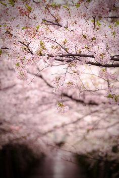 Cherry Blossom, Tokyo, Japan 中目黒・桜 by u_ran2008 on Flickr.