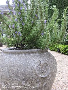 In our garden: Tuscan Blue Rosemary - Monica Hart La Famiglia Design