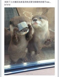 Potty trained male and female asian clawed small otters available in Exotic Pets on Free Classified Site in USA - US Online Ads Baby Otters, Otters Cute, Otters Funny, Baby Sloth, Cute Little Animals, Cute Funny Animals, Otter Love, Tier Fotos, Cute Animal Pictures