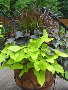 Spring/Summer Purple Fountain Grass Blackie Sweet Potato Vine Margarita Sweet Potato Vine