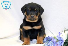 Things we all admire about the Loving Rottweiler Puppies Rottweiler Facts, Rottweiler Puppies For Sale, Rottweiler Love, Cute Puppies, Cute Dogs, Baby Puppies, Funny Dogs, Animals And Pets, Cute Animals
