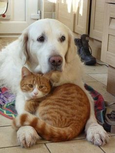 Some cats may enjoy hanging out with species other than their own. Dogs can be a nice option as playmates for territorial cats who have a difficult time with other felines. Animals And Pets, Baby Animals, Funny Animals, Cute Animals, Cat Love, I Love Dogs, Animal Gato, Image Chat, Raining Cats And Dogs