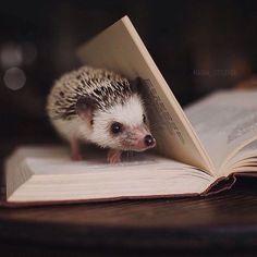 Hedgehog and book Happy Hedgehog, Hedgehog Pet, Cute Hedgehog, Cute Creatures, Beautiful Creatures, Animals Beautiful, Animals And Pets, Funny Animals, Cute Little Animals