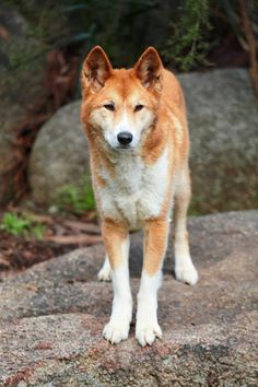 Pariah Dog, dingo on rock, when dogs diverged from wolves to companion humans in the evolutionary timeframe?  from 33,000 years ago to 16,000 years ago depending on studies you read It is certain: they have been an integral part of human existence for ages. Yet some have stayed on or returned to the very edges of human civilization. These are pariah dogs.Read more: http://www.mnn.com/earth-matters/ animals/ photos/ pariah-dogs-9-ancient-and-wild-dog-breeds