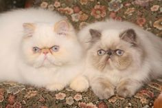 Kosmetyki dla kotów
