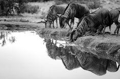 10Mike Palmer - Wildebeest 130616 Visit SA: http://www.savisas.com/south-africa-visa/