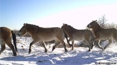 Przeswalski's horses, an endangered species, were deliberately released into the exclusion zone as part of a conservation programme. (Image courtesy of the Tree research project)