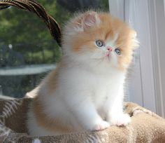Alfenloch Himalayan and Persian kittens,