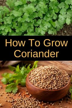Learn how to grow coriander in your garden or in pots. Growing coriander is easy and rewarding as you'll be able to use it in your cooking. Coriander also known as Chinese parsley or cilantro is also great at keeping bugs away form your vegetable garden. Home Vegetable Garden, Fruit Garden, Herb Garden, Tomato Garden, Growing Herbs, Growing Vegetables, Growing Gardens, Gardening Vegetables, Growing Coriander