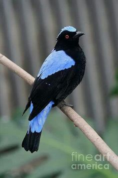 The Asian Fairy-bluebird (Irena puella) is a medium-sized, arboreal passerine bird. This fairy-bluebird is found in forests across tropical southern Asia from the Himalayan foothills, India and Sri Lanka east through Indochina, the Greater Sundas and Palawan (Philippines).