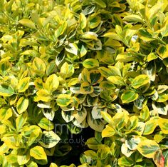 Plant Pictures: A Large image of Euonymus fortunei - 'Sunshine' (Euonymus) Full Sun Garden, Garden Of Eden, Home And Garden, Yellow Plants, Sunshine Love, Plant Pictures, Topiary, Garden Plants, Perennials