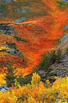 avalanche of orange autumn fall foliage flowing down a Sierra mountainside