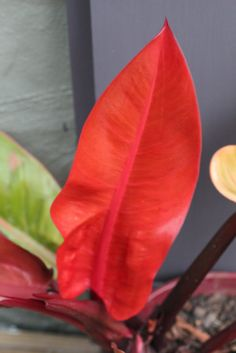 "Philodendron x 'Red Leaf'  - Amazing red coloring of the new leaves. As the leaves age they go a deeper metallic purplish red. The original ""Red Leaf Philodendron"" was a hybrid species of domesticum x erubescens, the so called ""blushing philodendron"".  (more info to follow in an update) Potted Plants, Indoor Plants, Purple Plants, Plants Are Friends, Amazing Red, Red Leaves, Different Plants, Interior Plants, Tropical Garden"