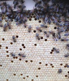Stand 19.07.2014 - verdeckelter Honig. Danke, liebes Bienenvolk. #Waben #Bienenvolk #Honig #Natur #Imker #Honigbienen #Bienen #Biene #Bienenstock #Wabe #Bienenvolk #Bienenvoelker #Hobby #Bienenzucht https://twitter.com/AC_Bienenfreund