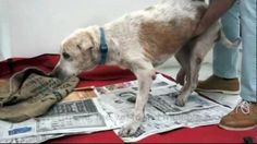 """There are few things more heart-wrenching than an ailing dog — and a stray dubbed """"Ol Boy"""" was really ailing when he was taken in by the kind folks from Save Our Street Dogs, a Singapore-based animal welfare organization. Ol Boy was starving, infested with ticks and in constant pain, but finally received some much-needed love and care from the group's volunteers before he passed away. They even gave him a funeral and scattered his ashes in a sunny park. No, there's not something in our eye…"""
