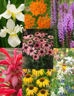 Perennial Butterfly Garden Collection~Looking to attract friendly and delicate butterflies to your garden? Look no further this collection combines everything you need to do so! The Butterfly Weed is a host plant for the Monarch Butterfly caterpillar.  • Butterfly Weed  • Liatris Spicita, Gayfeather/Blazing Star  • Mixed Aquilegia Or Columbine  • Fireball Bee Balm  • Purple Coneflower  • Harvest Moon Coneflower  • White Swirl Siberian Iris