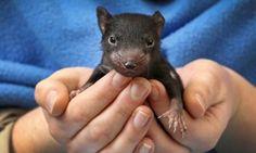 baby tasmanian devil!!!