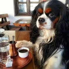 Coffee time with Choco the tricolor Cavalier King Charles Spaniel Spaniel Breeds, Spaniel Puppies, Dog Breeds, King Charles Puppy, Cavalier King Charles Dog, King Charles Cocker Spaniel, Cute Puppies, Cute Dogs, Roi Charles