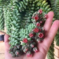 37 Ideas Donkey Tail Succulent Care For 2019 Crassula Succulent, Propagating Succulents, Succulent Gardening, Succulent Care, Cacti And Succulents, Planting Succulents, Garden Plants, House Plants, Planting Flowers
