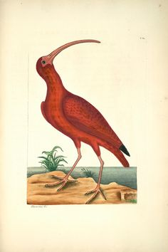 Mark Catesby (1683-1749) - Red Curlew
