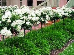 Even between flushes of beautiful, snow-white blooms, Snowstorm agapanthus provides dense clumps of strappy foliage that look divine beneath these Flower Carpet White roses trained as standards or topiary trees.