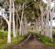 Cruden Farm, Langwarrin, VIC, Australia  Home of Dame Elisabeth Murdoch.  The curved driveway is lined with a stunning avenue of Lemon-Scented Gums (Corymbia citriodora).