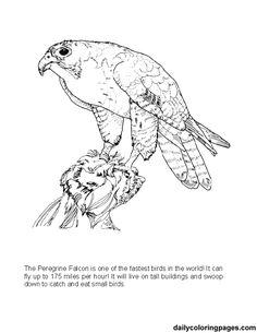 Big Coloring Pages Of Animals | texas big bend peregrine falcon bird coloring pages 04