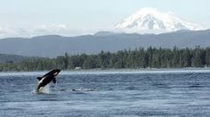 Image result for whales in the salish sea