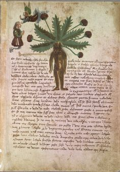 Mandragora, Male, 1475-1525, Italian Herbal, TR F Herbal, Special Collections, University of Vermont Library, P.73
