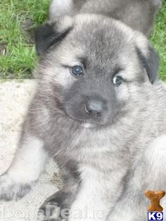 Norwegian Elkhound. One day I will be taking you home!!