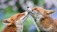Cute animals couples in love - love dose - slydor - your daily dose of fun. Cute Animal Quotes, Cute Animal Videos, Cute Animal Pictures, Animal Pics, Woodland Creatures, Woodland Animals, Cute Baby Animals, Animals And Pets, Fabulous Fox