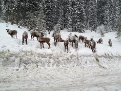 Endangered Caribou in Kootenay Pass Water Supply, Wilderness, Wildlife, Creatures, United States, The Incredibles, The Unit, Mountains, Nature