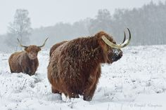 — Highland cattle