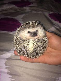 Hedgehogs :)