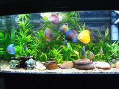 Vastu-shastra: Benefits from keeping a fish aquarium in the offic. Diskus Aquarium, Aquarium Design, Planted Aquarium, Tropical Fish Tanks, Tropical Aquarium, Discus Fish, Betta Fish, Discus Tank, Fish Fish