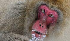 Japanese Macaque, Monkey Park, Nagano, Weekend Fun, Animals Beautiful, Mammals, National Parks, Snow Monkeys, Spider