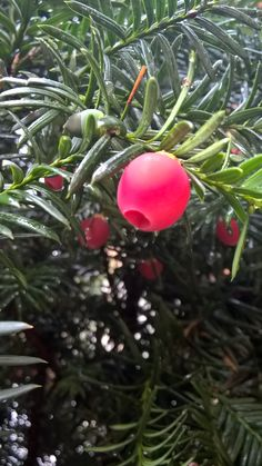 Berries of yew tree