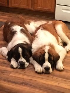 1 post published by saintbernardsforsale during January 2015 Chien Saint Bernard, St Bernard Puppy, Cute Puppies, Cute Dogs, Dogs And Puppies, Doggies, Fluffy Animals, Animals And Pets, Cute Animals