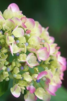 Hydrangea  ♥ -    - Picture Colors:  Green, Blue, Purple