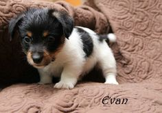 Evan - Jack Russell Terrier very tiny soft hearted AVAILABLE