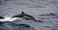 Tipos de peces que comen los delfines. A pesar de su naturaleza acuática, los delfines son en realidad mamíferos y son considerados una de las especies de animales más inteligentes del planeta. Los delfines gastan mucho tiempo y energía en busca de comida y comen una gran variedad de peces y otros organismos.