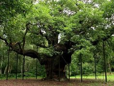 The Major oak in Sherwood Forest, Nottinghamshire. I have seen this, it is amazing. Those are steel I-beams supporting the gigantic reach of the limbs. The hollow trunk can hide men and their horses! the tree is much more immense that a photo can show.
