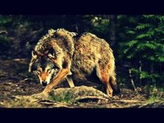 ▶ WolfBlood -- A Promise That I Keep - YouTube I don't know why... but I really like this song...